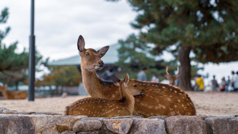 厳島神社の鹿の写真をLightroomで補正